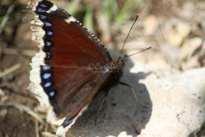Mourning Cloak Butterfly 473