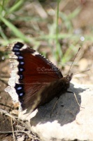 Mourning Cloak Butterfly 572