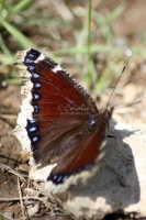 Mourning Cloak Butterfly 574