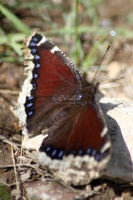 Mourning Cloak Butterfly 577