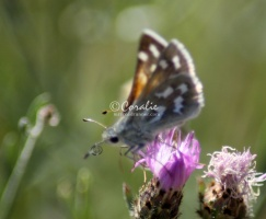 Pyrgus communis Checkered Skipper butterfly  1564