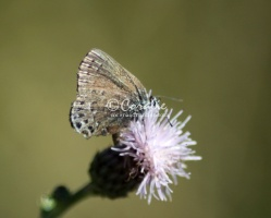 Sagebrush Sooty Hairstreak butterfly 1485