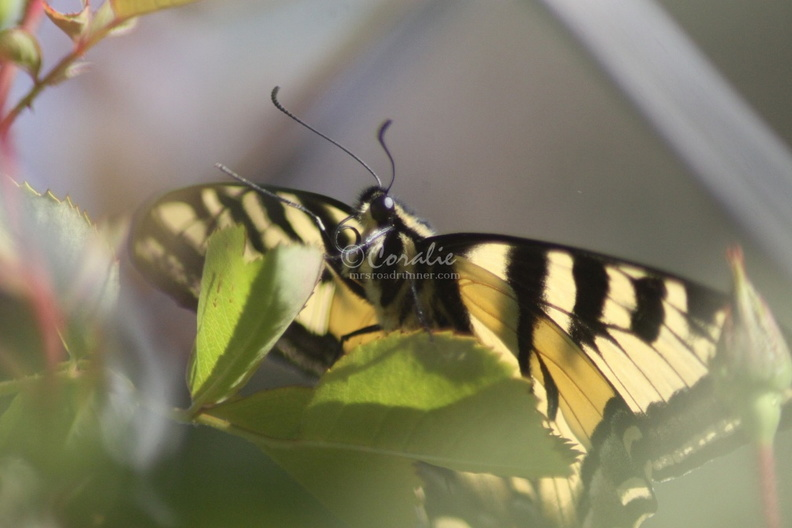 Yellow_Swallowtail_Butterfly_044.jpg
