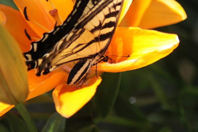 Yellow_Swallowtail_Butterfly_on_Orange_Lily_Flower_158.jpg