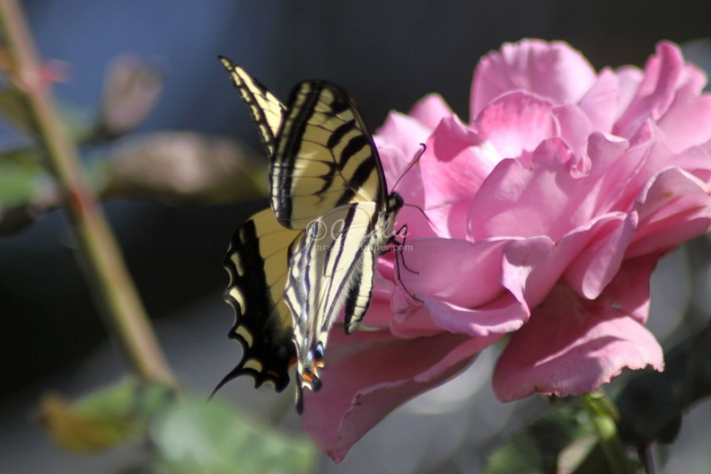 Yellow_Swallowtail_Butterfly_on_Pink_Rose_Flower_202.jpg