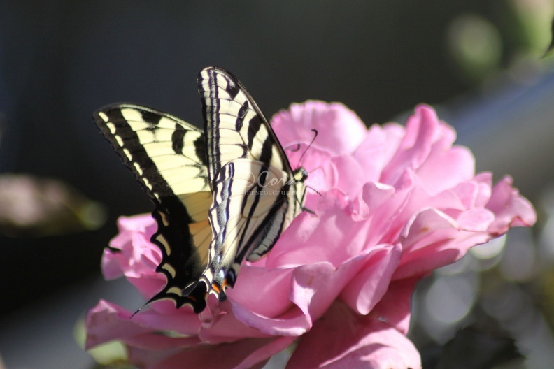 Yellow_Swallowtail_Butterfly_on_a_Pink_Rose_Flower_211.jpg