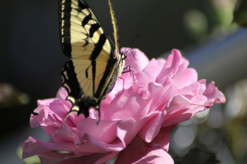 Yellow_Swallowtail_Butterfly_on_a_Pink_Rose_Flower_214.jpg