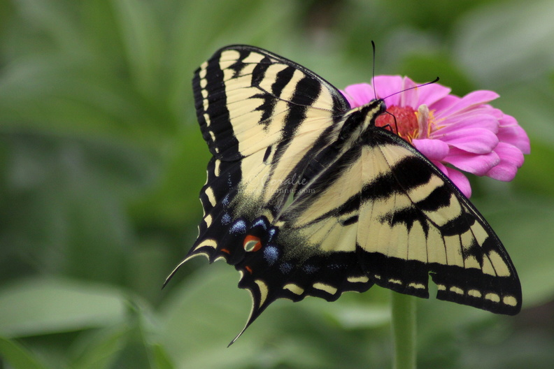 Yellow_Swallowtail_Butterfly_on_a_Pink_Zinnia_Flower_325_Sample_File.jpg