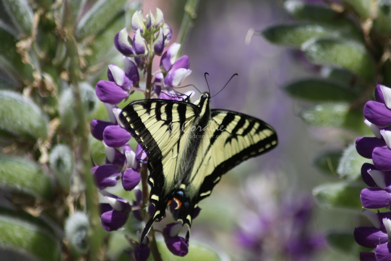 Yellow_Swallowtail_Butterly_on_Purple_White_Lupine_Flower_028.jpg