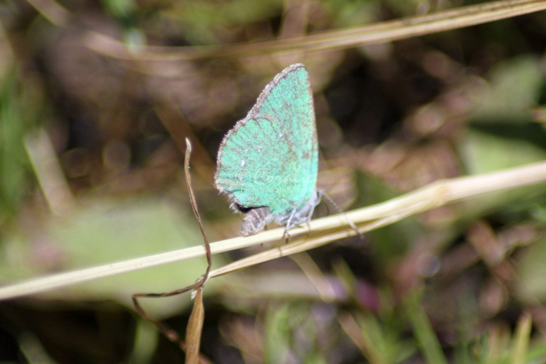 green_hairstreak_butterfly_300.jpg