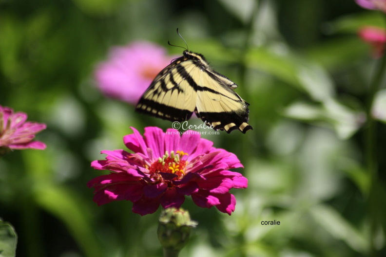 yellow-swallowtail-butterfly-flying-1159.sample.jpg