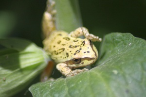Frog 076