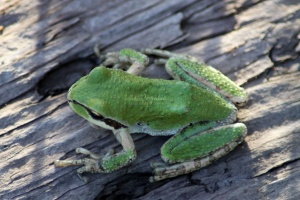 Pacific Tree Frog 022