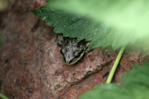 Pacific Tree Frog 209