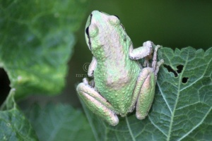 Pacific Tree Frog 388