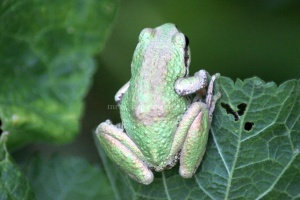 Paciic Tree Frog 371