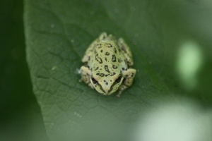 Small Frog 951