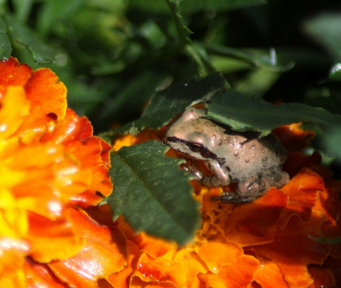 baby_frog_on_the_marigold_flower_132.jpg