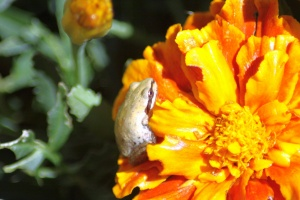 baby frog on the marigold flower 184