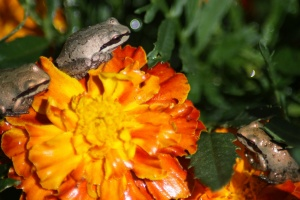 baby frogs on teh marigold flowers 080