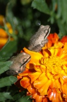 baby frogs on the marigold flowers 122