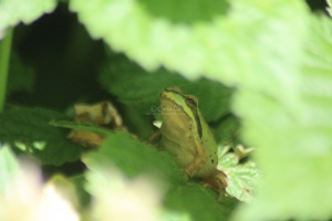 frog 2015-06-03 081