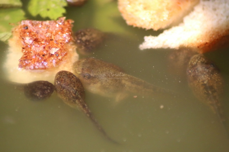 frog_tadpoles_in_the_pond_046.jpg