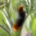 Banded Wolly Bear Caterpillar 203