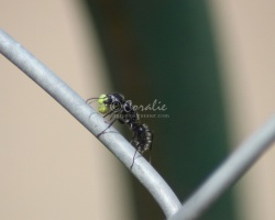 Black Ant Working 083
