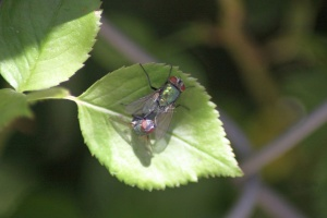 Blowflies Mating 148