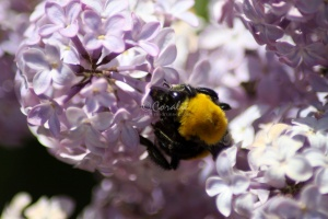 bubmlebee on the lilacs 036