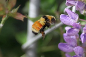 Bumble Bee in Flight 128