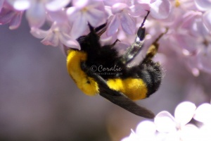 bumblebee on the lilac flowers 072