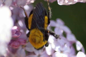 bumblebee on the lilac flowers 144