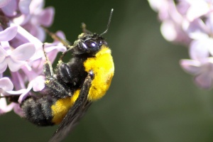 bumblebee on the lilac flowers 175