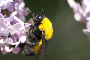 bumblebee on the lilac flowers 176