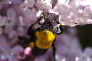 bumblebee on the lilac flowers 245