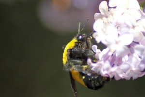bumblebee on the lilac flowers 329