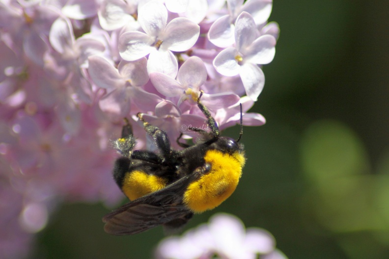 bumblebee_on_the_lilac_flowers_349.jpg