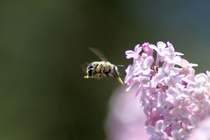 bumblebee on the lilac flowers 409