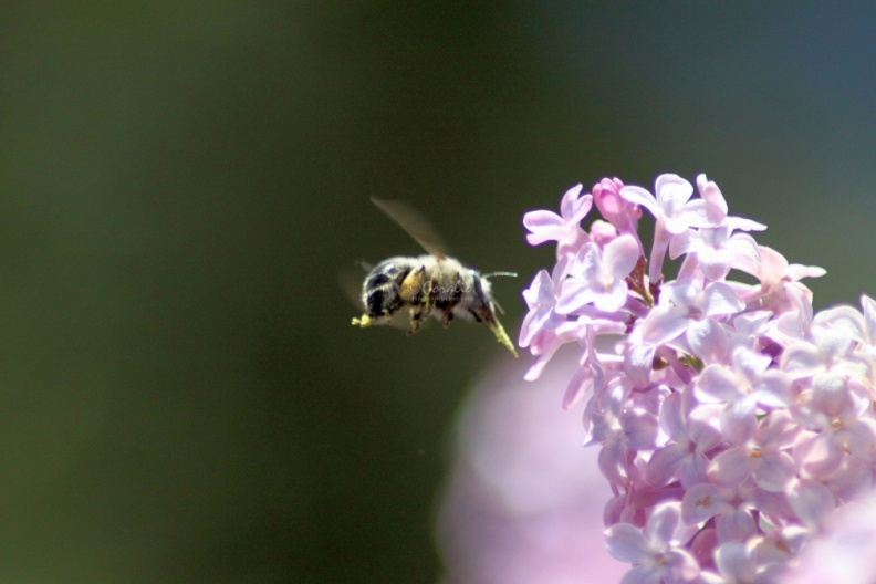 bumblebee_on_the_lilac_flowers_409.jpg