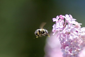 bumblebee on the lilac flowers 410