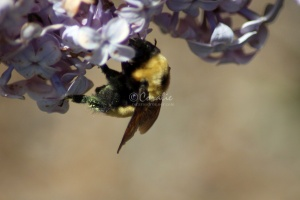 bumblebee on the lilac flowers 422