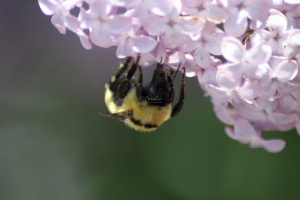 bumblebee on the lilac flowers 513