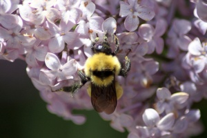 bumblebee on the lilac flowers 536