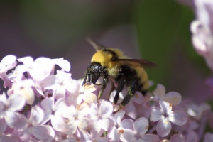 bumblebee on the lilac flowers 565