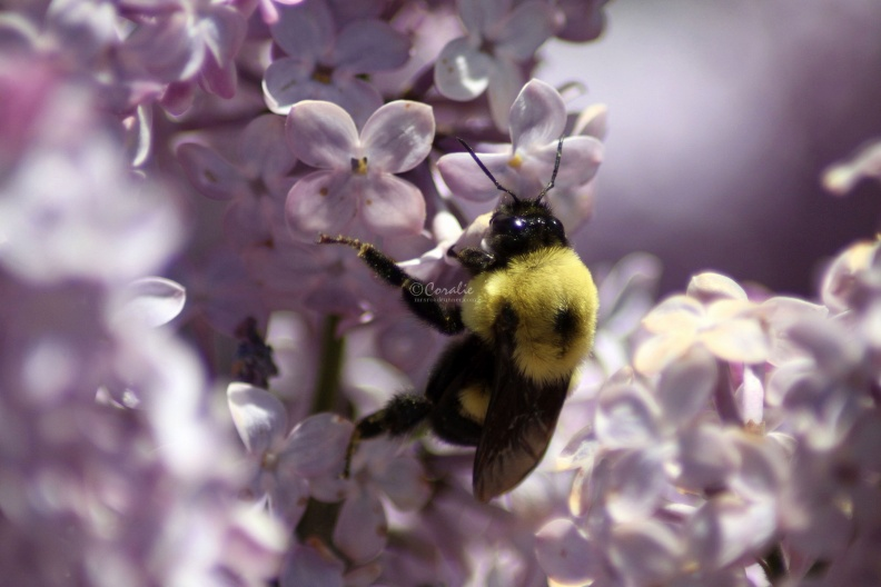 bumblebee_on_the_lilac_flowers_654.jpg