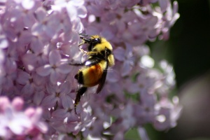 bumblebee on the lilac flowers 719