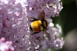 bumblebee on the lilac flowers 723