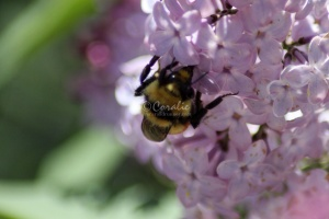 bumblebee on the lilac flowers 762